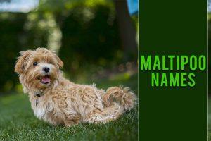 Maltipoo Names