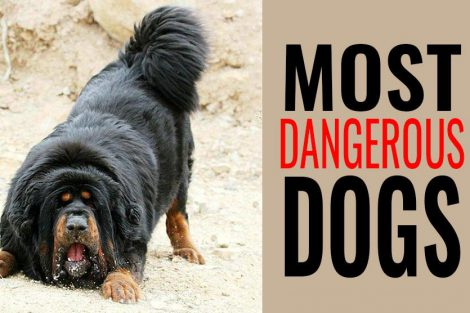Most Dangerous Dogs