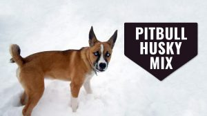 Pitbull Husky Mix