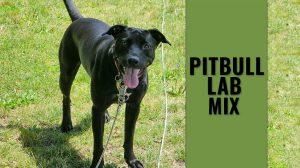 Pitbull Lab Mix