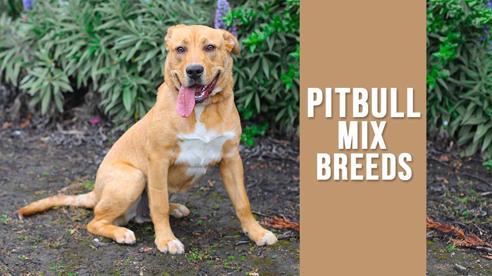 Pitbull Mix Breeds