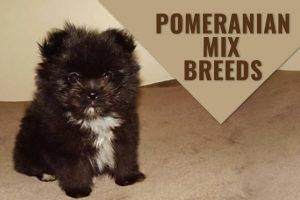 Pomeranian Mix Breeds
