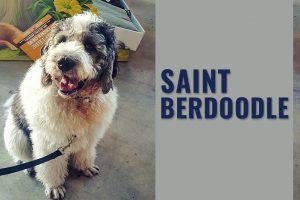 Saint Berdoodle