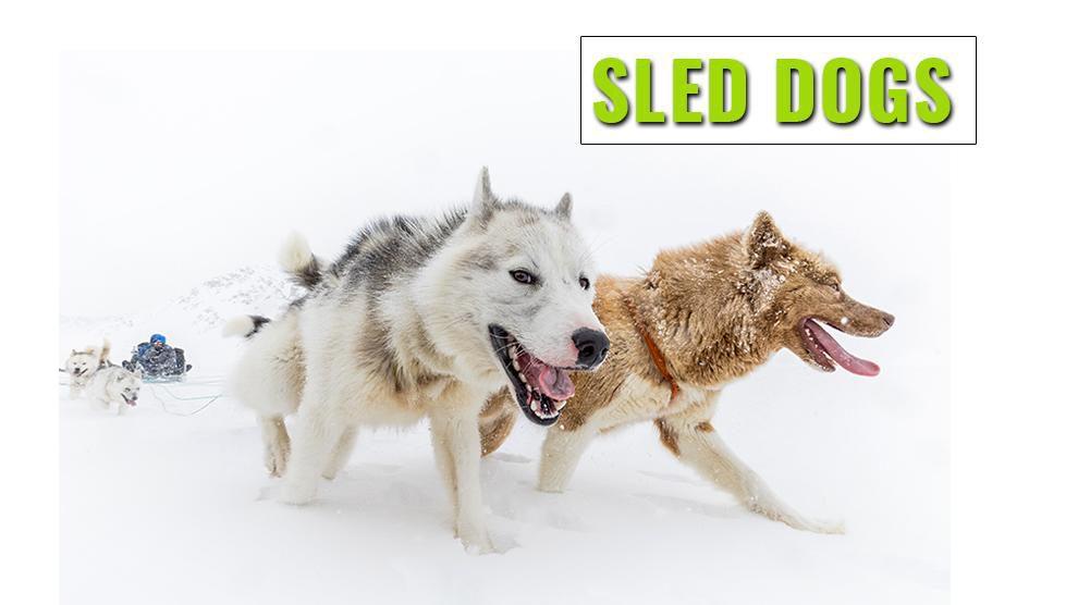 Sled Dog Breeds