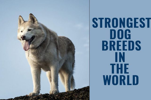 Strongest Dogs In The World