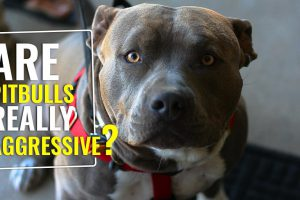 Are Pitbulls Naturally Aggressive??
