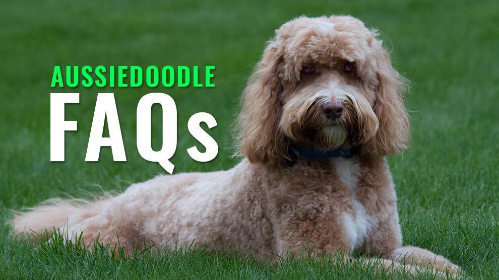 Aussiedoodle FAQs