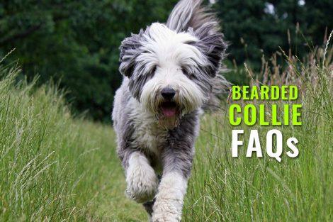 Bearded Collie FAQs