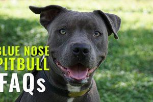 Blue Nose pitbull FAQs