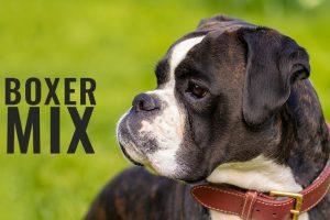Boxer MIx