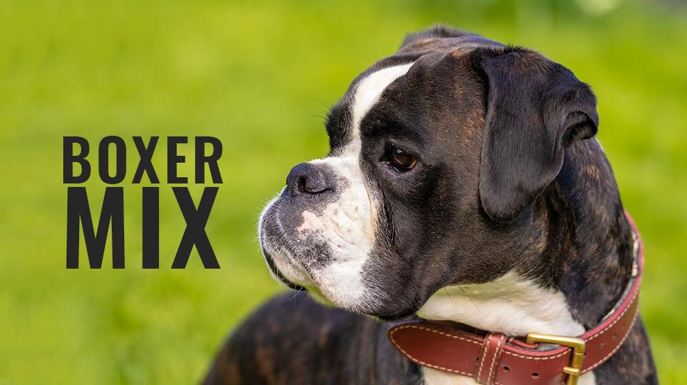 Boxer Mix Breeds Complete Facts About