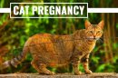 Cat Pregnancy