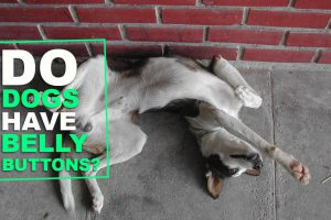 Do Dogs Have Belly Buttons?