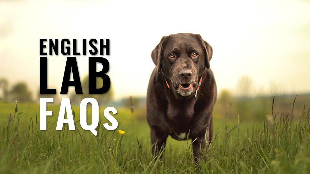 English Lab Faqs Questions And Answers On English Labrador Petmoo