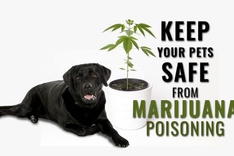 Marijuana Toxicity In Dogs