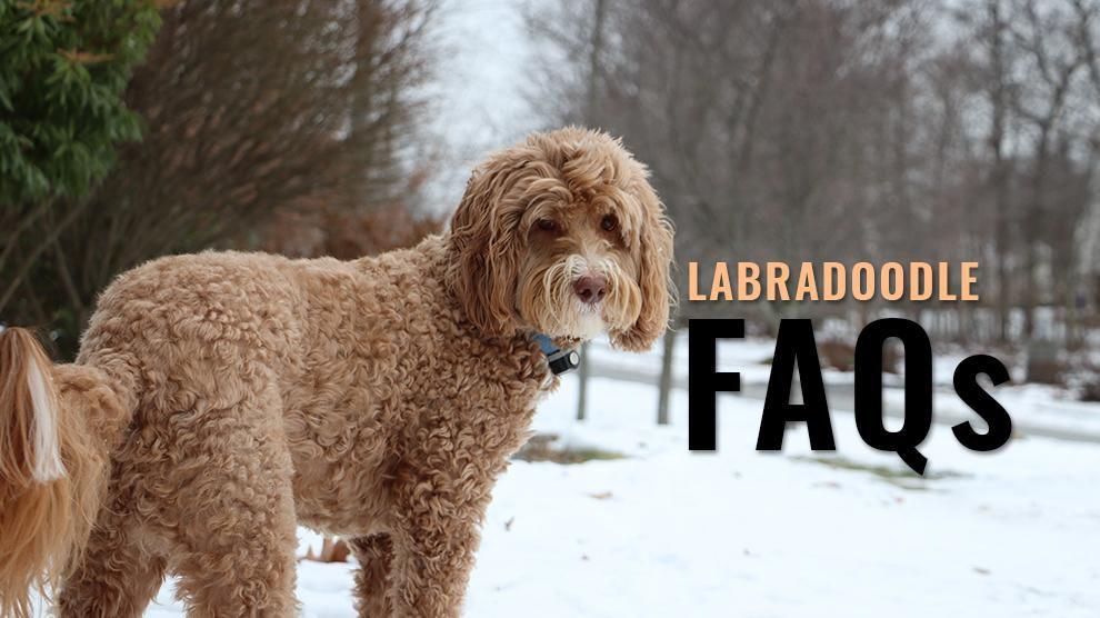 Labradoodle FAQs