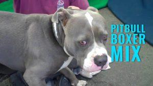 Pitbull Boxer Mix