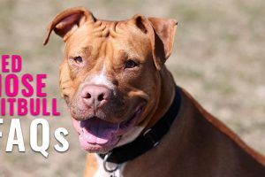 Red Nose Pitbull FAQs