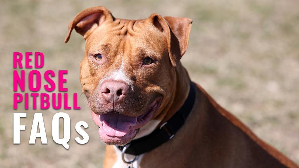 Red Nose Pitbull FAQs