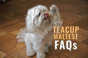 Teacup Maltese FAQs