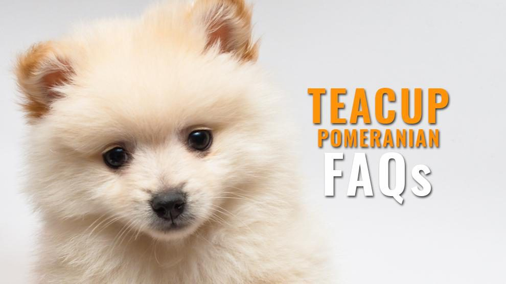 Teacup pomeranian FAQs