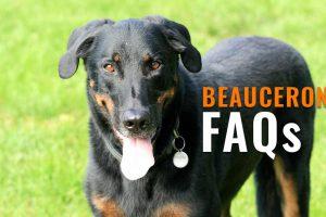 beauceron FAQs