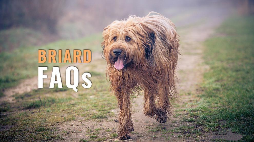 briard FAQs
