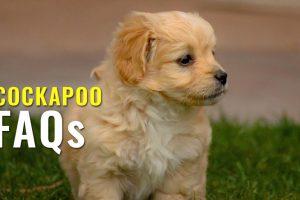 cockapoo FAQs