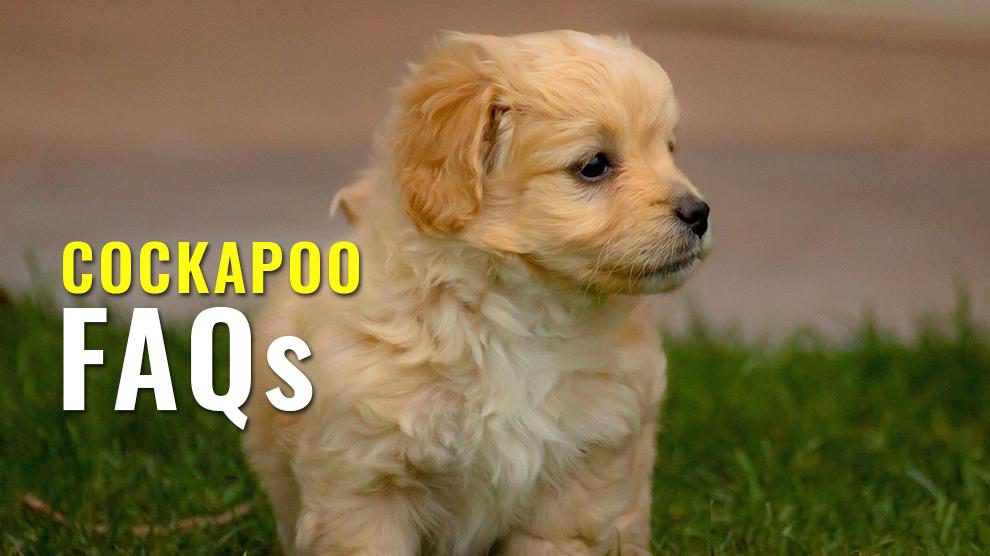 cockapoo FAQs