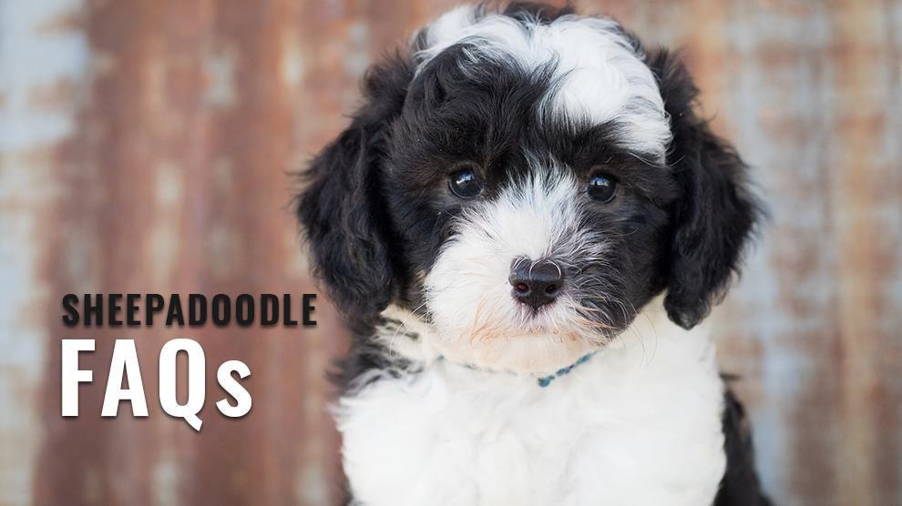 sheepadoodle FAQs