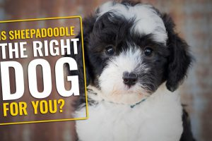 Is Sheepadoodle The Right Dog For You?