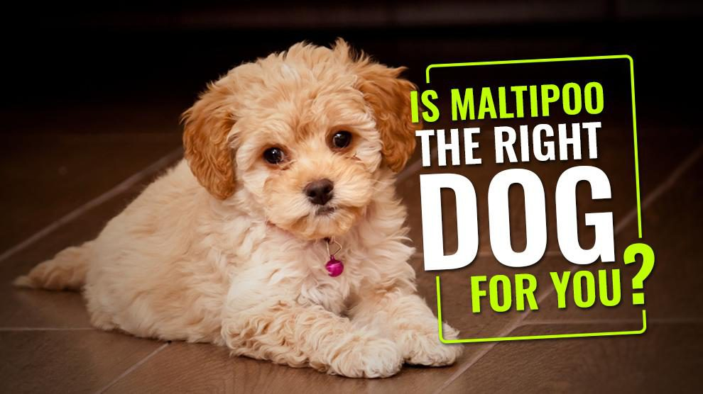 Is Maltipoo The Right Dog For You?
