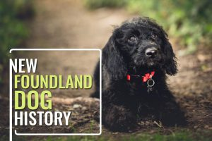 Newfoundland Dog Rigel In Titanic