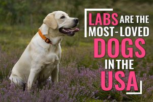 Labrador Retrievers Are The Most Loved Dogs In America