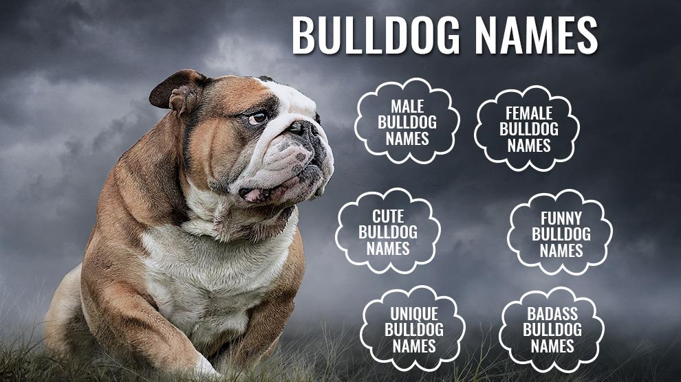 133 Wonderful Unique Bulldog Names
