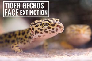 Act Now To Save Tiger Geckos Facing Extinction