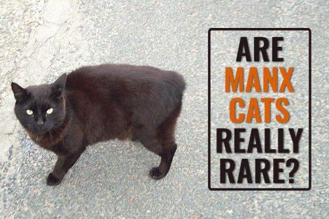 Are Manx Cats Really Rare?