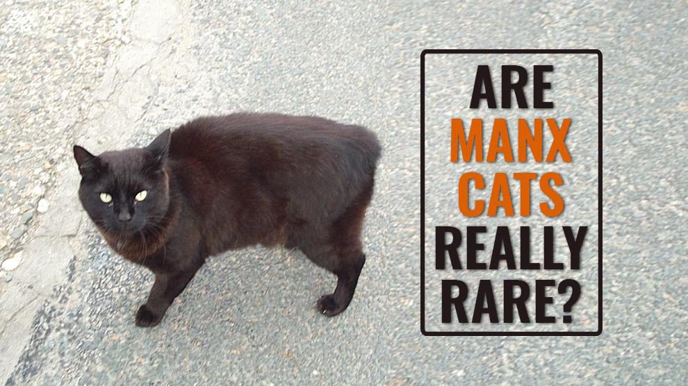 Are Manx Cats Really Rare?