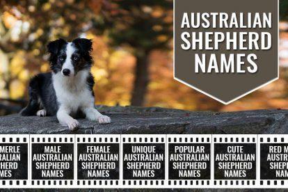 Australian Shepherd Names