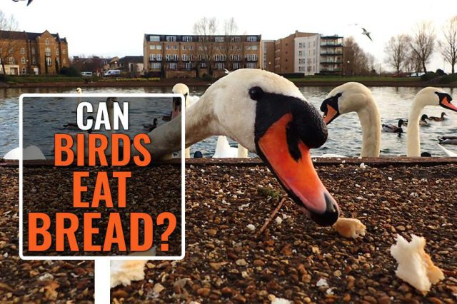 Can Birds Eat Bread?