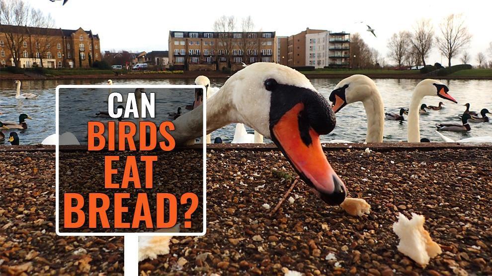 Can Birds Eat Bread?