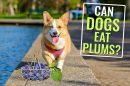 Can Dogs Eat Plums?
