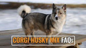 Corgi Husky Mix FAQs