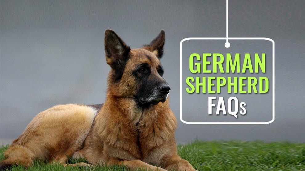 German Shepherd FAQs