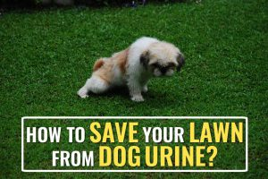 How To Prevent Dog Urine From Destroying Your Lawn?