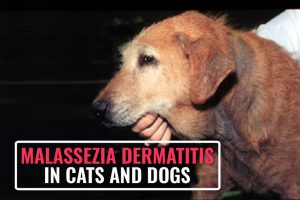Malassezia Dermatitis In Cats And Dogs