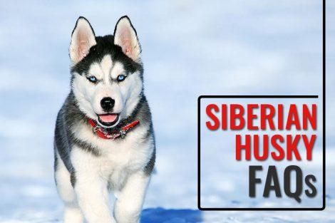 Siberian Husky FAQs