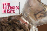 Skin Allergies In Cats