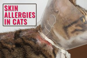 Skin Allergies In Cats