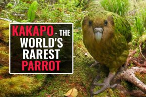The Kakapo – A Rare Flightless Parrot On The Verge Of Extinction